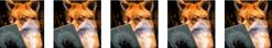 five fox